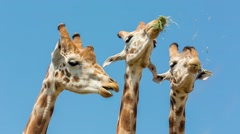 Three Giraffes Sharing Food Stock Footage