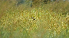Birds in the paddy fields, Thailand, Stock Footage