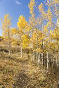 Hillside Trail Golden Aspens Stock Photos