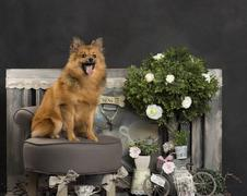 Spitz in front of a rustic background Stock Photos