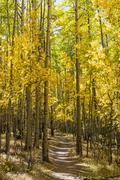 Aspens Line the Colorado Trail Stock Photos