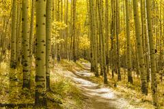 Golden Aspen Forest on Colorado Trail - stock photo