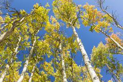 Colorful Aspen Leaves against Blue Sky Stock Photos