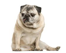 Handicapped Pug sitting in front of white background Stock Photos