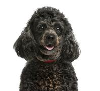 Close-up of a Poodle in front of a white background - stock photo
