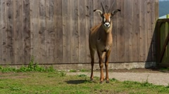 B Bryan Preserve Antelope by fence - stock footage