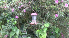 Sparkling Violet-ear, Green Violet-ear Hummingbirds at feeders Stock Footage