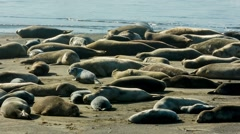 Seal Group Sunbathing Stock Footage