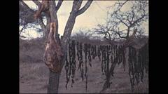 Vintage 16mm film, 1972, Kenya, meat drying on trees Stock Footage
