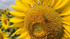 Bee on sunflower slow motion at a rate of 120 fps. Stock Footage