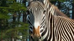 B Bryan Preserve zebra face - stock footage