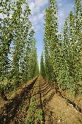 Agricultural landscape with a hop field in Bavaria - stock photo