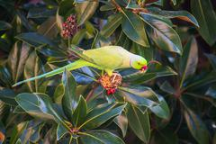 A Rose-ringed parakeet Stock Photos