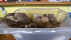 Baby two toed sloths explore their box environment Stock Footage