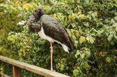 Ciconia nigra, black stork Stock Photos