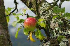 Apple tree with fruits - stock photo