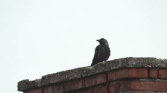 Crow looks on a tall brick chimney 482 Stock Footage