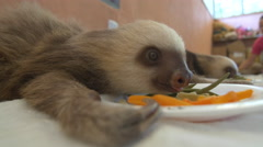 Two toed sloth mesmerizingly eats its green bean lunch Stock Footage