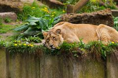 Lovely lioness - stock photo
