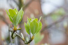 First leaves on a tree in spring Stock Photos