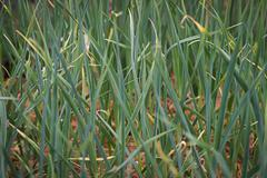 Stock Photo of Garlic in the garden