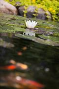 Water lily flower with carp koi golden fishes Stock Photos