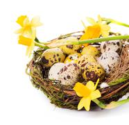 Stock Photo of Easter eggs in the nest with narcissus