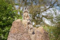 meerkats mongoose observing - stock photo