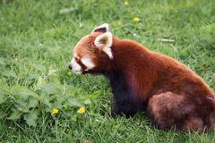 Red panda - stock photo