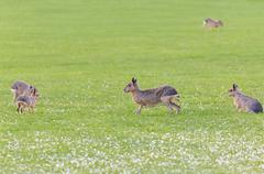 Hares on a meadow Stock Photos