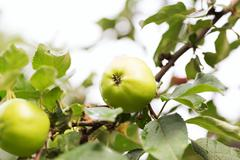 Fresh apple crop outdoors Stock Photos