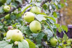 Fresh apple crop outdoors - stock photo