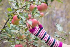 Fresh apple crop outdoors Stock Photos
