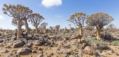 The quiver tree, or aloe dichotoma, or Kokerboom, in Namibia Stock Photos