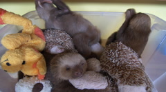 Three two toed sloths cuddle with stuffed animals Stock Footage