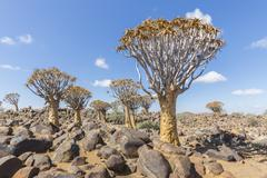 The quiver tree, or aloe dichotoma, or Kokerboom, in Namibia - stock photo