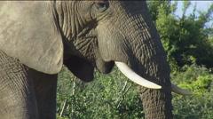 African elephant male feeding showing tusks and chewing - stock footage