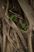 Stock Photo of Mysterious Asian Tree Roots Detail with Leafy Plant
