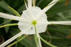 Close up White Asian Flower with Leafy Background - stock photo