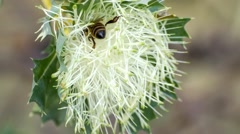 Native Australian honey bee foraging inside Parrot Bush (banksia sessilis) Stock Footage