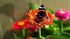 Red Admiral butterfly on the Zinnia flower and flying away Stock Footage