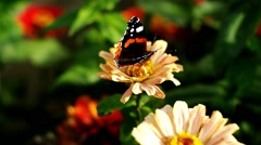 Red Admiral butterfly sitting on the Zinnia flower and flying away Stock Footage