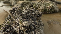 Low Tide, Mussels and Barnacles - stock footage