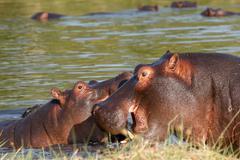 Two fighting young male hippopotamus Hippopotamus Stock Photos