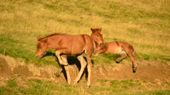Two cute brown foals relax and graze on pasture at dawn Stock Footage