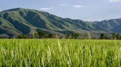Spikes on wheat field sways in the gentle breeze against the foothills Stock Footage