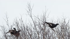 Black grouse feed on the tops of birches - stock footage
