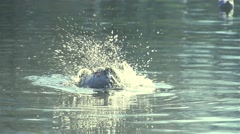 Duck bathes in a pond and spraying water droplets of super slow motion Stock Footage