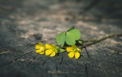 Yellow flowers on wood Stock Photos