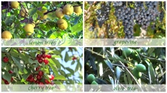 fruit trees montage with old style subtitles - stock footage